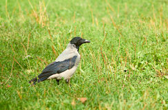 Jackdaw  (Corvus monedula). Stock Images