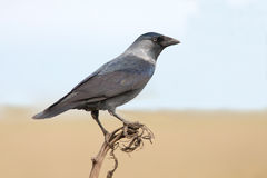 The Jackdaw (Corvus monedula) Stock Image