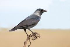 The Jackdaw (Corvus monedula). The Jackdaw resting on a stick (Corvus monedula Stock Image