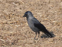 Jackdaw, Corvus monedula Royalty Free Stock Images