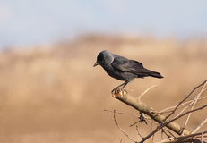 Jackdaw, Corvus monedula Royalty Free Stock Photos