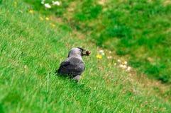 Jackdaw (Corvus monedula) Zdjęcia Royalty Free