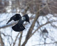 Jackdaw (Corvus monedula)  in fly. Royalty Free Stock Images