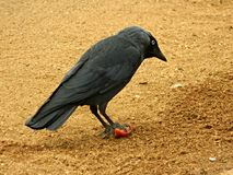 Jackdaw (Corvus Monedula) with food. A Jackdaw holding a piece of tomato Stock Photo
