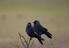 Jackdaw (Corvus monedula). This is an image of two jackdaws perched side by side, with one looking straight ahead, and the other looking towards the camera Stock Image