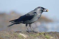 Jackdaw, Corvus monedula Stock Image