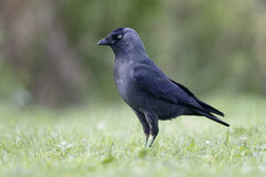 Jackdaw, Corvus monedula. Single bird on grass, Warwickshire, October 2013 Stock Images