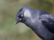 Jackdaw, Corvus monedula Stock Photos