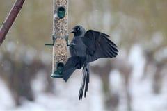 Jackdaw, Corvus monedula Royalty Free Stock Images