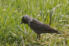 Jackdaw (Corvus monedula) Stock Photo