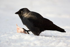 Jackdaw, Daw (Corvus monedula) Stock Photos
