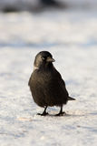 Jackdaw, Daw (Corvus monedula) Royalty Free Stock Photos