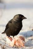 Jackdaw, Daw (Corvus monedula) Stock Photo
