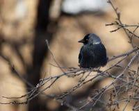 Jackdaw, Daw (Corvus monedula) Stock Images