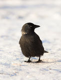 Jackdaw, Daw (Corvus monedula) Royalty Free Stock Images