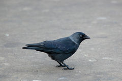 Jackdaw, Daw (Corvus monedula) Stock Photo