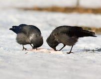 Jackdaw, Daw (Corvus monedula) Stock Image