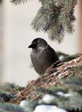Jackdaw, Daw (Corvus monedula) Stock Photography
