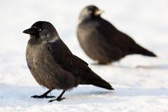 Jackdaw, Daw (Corvus monedula) Royalty Free Stock Image