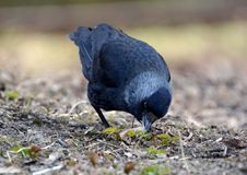 Jackdaw digging in the ground. Jackdaw looking for food rummaging through the earth Royalty Free Stock Photos