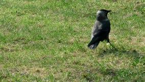 Jackdaw dziki wewn?trz w trawie zdjęcie wideo
