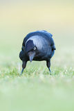 Jackdaw feeding Royalty Free Stock Photo