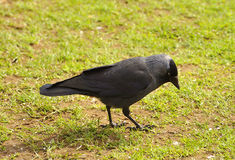 Jackdaw. Feeding on seeds and insects on grass in park Royalty Free Stock Image