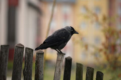 Jackdaw on the fence Stock Image