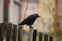 Jackdaw on the fence. Black jackdaw on the fence. Summer, Poland Stock Image