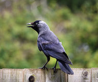 Jackdaw on a fence Stock Photo