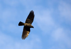 Jackdaw in flight Royalty Free Stock Photos