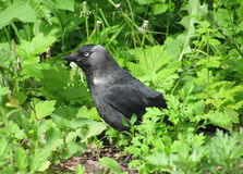 Jackdaw in a grass Royalty Free Stock Photos
