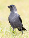 Jackdaw on grass in Oryol Russia Stock Photos