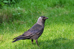 Jackdaw on the grass. Jackdaw standing on the grass in the garden stock photos