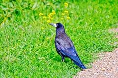 Jackdaw on the green grass Stock Photos