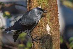 Jackdaw perched on tree trunk eating suet. Jackdaw hanging on side of a tree trunk eating suet from a hole Stock Image
