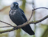 Jackdaw Royalty Free Stock Photo