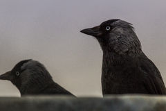 Jackdaw Stock Photo