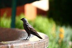 Jackdaw jest ptakiem tajmeniczo barwiącym ja, podstawowy ` s czerń i na pogodnym i gorącym dniu jest nim który potrzebuje napój w Fotografia Stock