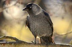 Corvus monedula. Jackdaw looking to the left Stock Image