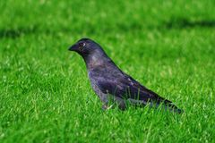 Jackdaw looking for worms Royalty Free Stock Image