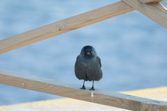 Jackdaw. A jackdaw looks like an angry bird Royalty Free Stock Images