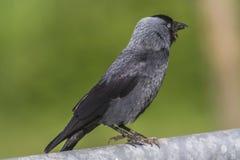 Jackdaw (moledula do Corvus) Foto de Stock