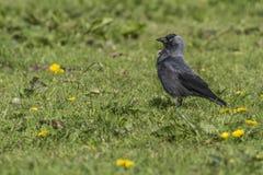 Jackdaw (moledula do Corvus) Fotografia de Stock Royalty Free