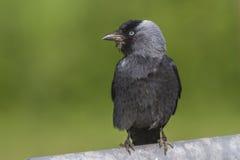 Jackdaw (moledula do Corvus) Fotografia de Stock