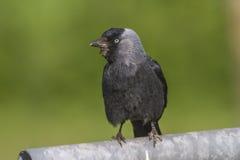 Jackdaw (moledula do Corvus) Fotos de Stock Royalty Free