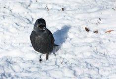 Jackdaw na śniegu Zdjęcia Stock