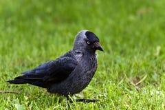 Jackdaw noir photo libre de droits