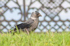 Jackdaw noticed something in the distance. Stock Photography