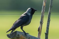 Jackdaw on the old roundpole fence Royalty Free Stock Images